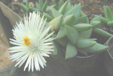 Khadia alticola Mesembs Samen