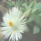 Khadia alticola  semi