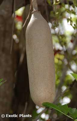 Kigelia africana Leberwurstbaum Samen