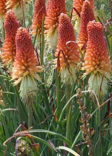 Kniphofia caulescens  semillas