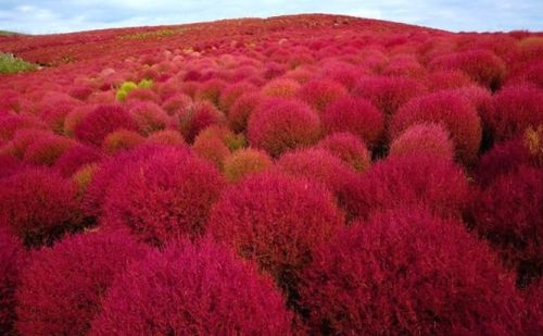 Kochia scoparia red  semillas