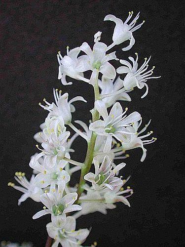 Lachenalia angelica plantas bulbosas semillas
