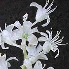 Lachenalia angelica Iridac?es graines