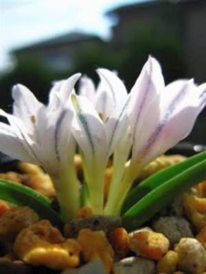 Lachenalia longituba  semillas