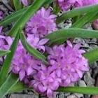 Lachenalia pauciflora syn: Hyacinthus paucifolius - Periboea oliveri - Periboea paucifolia - Polyxena paucifolia Samen