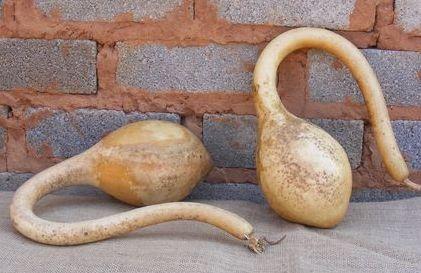 Lagenaria siceraria Calabash 22  semillas