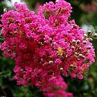 Lagerstroemia indica Lilas des Indes graines