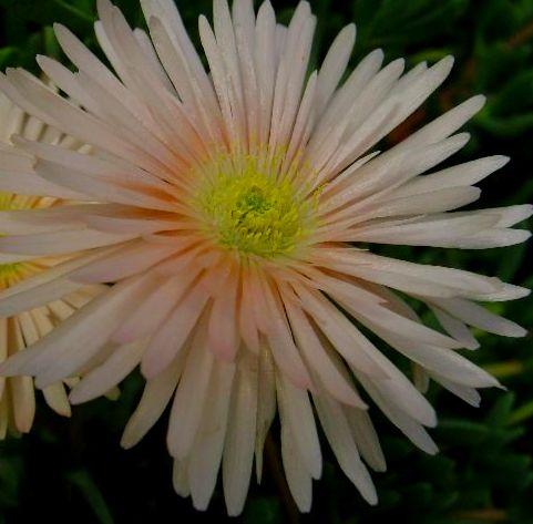 Lampranthus argenteus Aizoaceae Samen