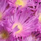 Lampranthus falciformis Sukkulente Samen