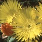 Lampranthus glaucus fleur de midi graines