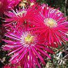 Lampranthus maximiliana Sukkulente Samen