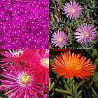 Lampranthus mixed