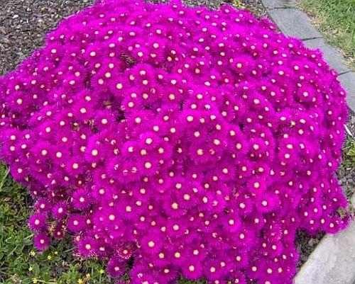 Lampranthus multiradiatus planta suculenta semillas