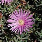 Lampranthus roseus Lampranthus Samen