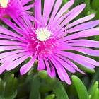 Lampranthus spectabilis Mini Eispflanze Samen