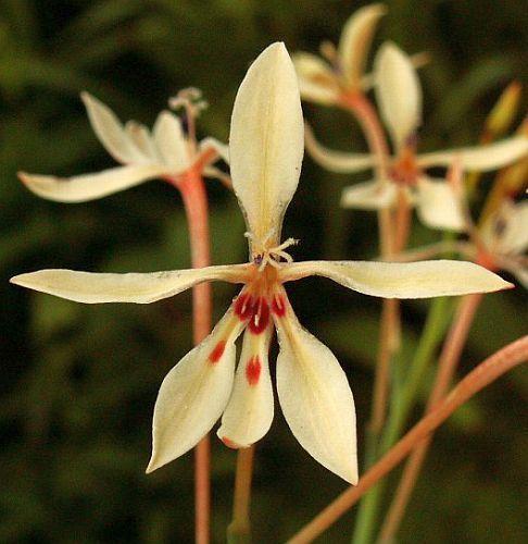 Lapeirousia anceps piante bulbosus semi