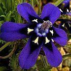 Lapeirousia oreogena
