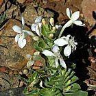 Lapeirousia pyramidalis  cемян