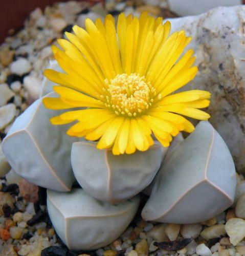 Lapidaria margaretae  semillas