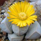 Lapidaria margaretae Karoo Rose graines