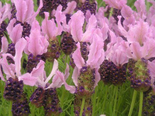 Lavandula stoechas Der echte französische Lavendel - Schopf-Lavendel Samen