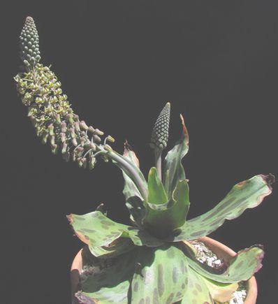 Ledebouria revoluta  semillas