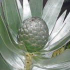 Leucadendron argenteum Silberbaum Samen