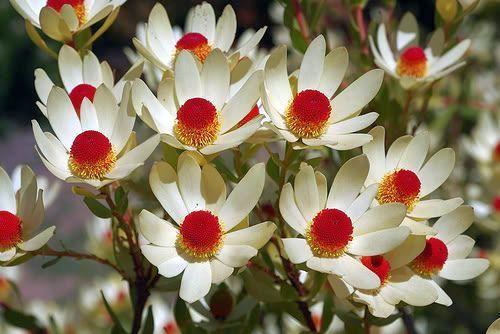 Leucadendron discolor Silberbaum Samen