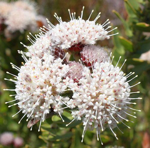 Leucospermum bolusii pelote d épingles de Bolus graines