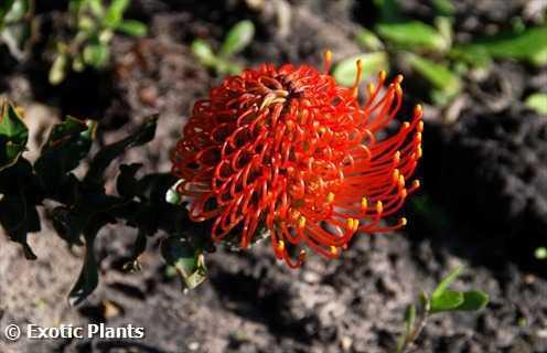 Leucospermum cordifolium Леукоспермум (белосемянник) сердцелистный  Семена