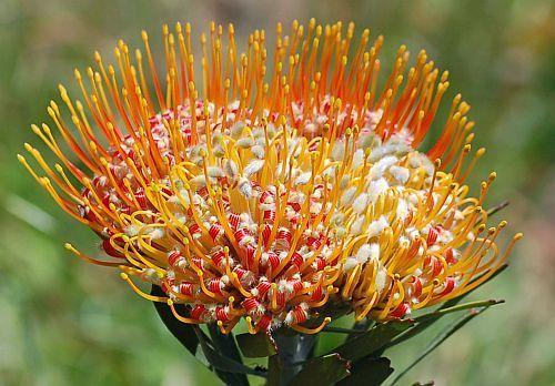 Leucospermum erubescens  Семена