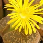 Lithops aucampiae v. aucampiae Kuruman lebender Stein Samen