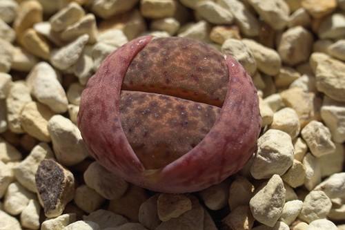 Lithops bromfieldii v. bromfieldii lebender Stein Samen
