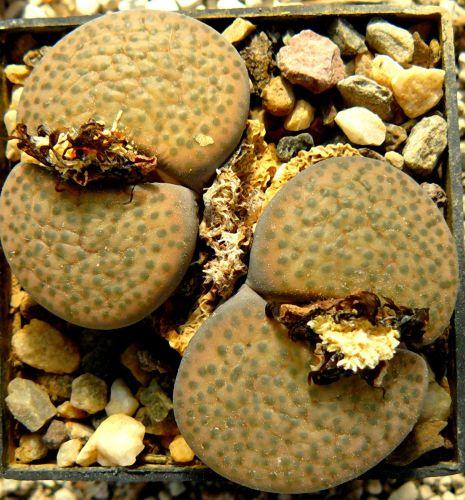 Lithops fulviceps v. fulviceps  semi