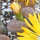 Lithops gesinae var annae lebender Stein Samen