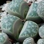 Lithops helmutii Lebende Steine - Mesembs Samen