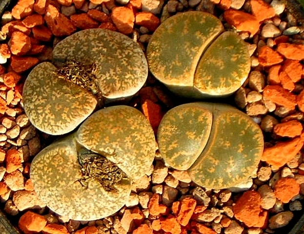 Lithops lesliei synonym mesembryanthemum lesliei seeds for Soil synonym
