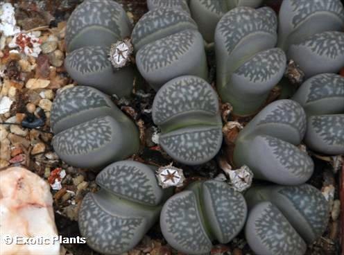 Lithops marmorata Lithops Samen