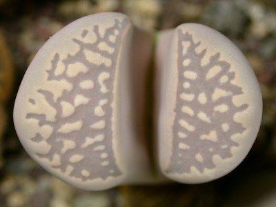 Lithops marmorata var elisae  semillas