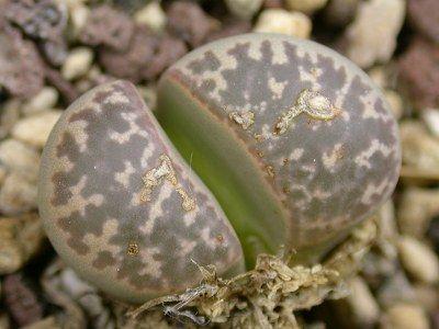 Lithops naureeniae sinónimo: Mesembryanthemum naureeniae - C304 semillas