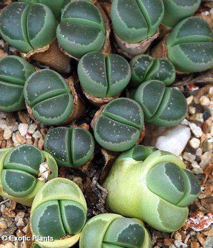 Lithops olivacea C112 lebender Stein Samen