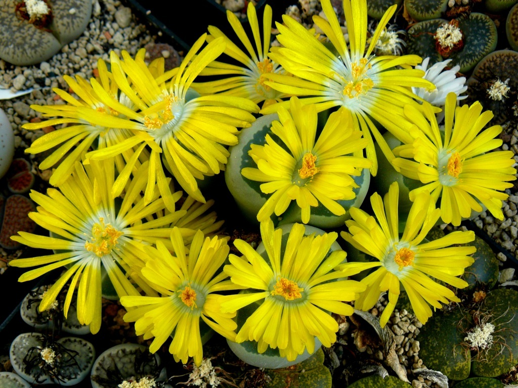 Lithops olivacea c112 synonyme mesembryanthemum for Plante synonyme