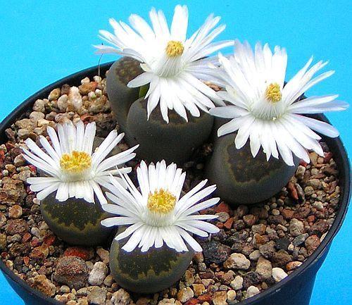 Lithops salicola sinónimo: Mesembryanthemum salicola semillas