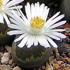 Lithops salicola lebender Stein Samen