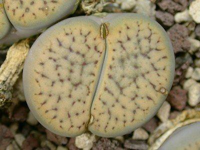 Lithops schwantesii var urikosensis  semillas