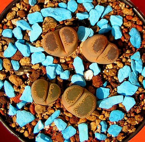 Lithops terricolor sinónimo: Mesembryanthemum terricolor semillas