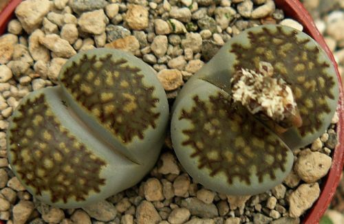 Lithops villetii ssp kennedyi  semillas