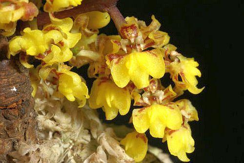 Lophiaris pumila Orchideen Samen