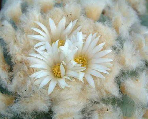 Lophophora diffusa Peyote - San Pedro Samen