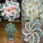 Lophophora williamsii Mischung Lofofora, Peyote semi